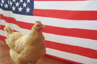 Election 2012: My Chicken is Running for VP
